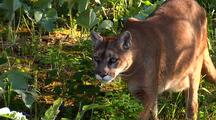 Mountain Lion Moving Through Shadows Of Pine Forest