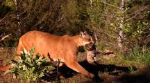 Female Mountain Lion Carrying Kitten