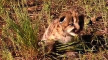 Mountain Lion Kitten In Grass Crying For Mother