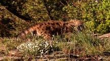 Mountain Lion Kitten Walks Unsteadily