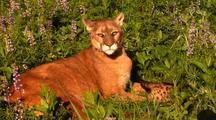 Female Mountain Lion And Kitten