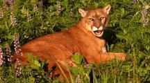 Female Mountain Lion Nursing Kitten