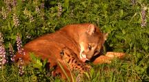 Female Mountain Lion Nursing And Grooming Kitten