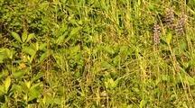 Mountain Lion Kitten Hidden In Grass