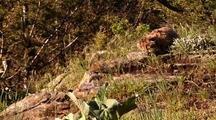 Mountain Lion Kitten In Grass
