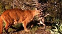 Female Mountain Lion Retrieving Kitten.