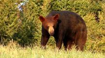 Juvenile Black Bear Foraging In Pine Forest