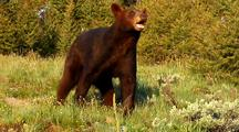 Juvenile Black Bear Foraging In Pine Forest