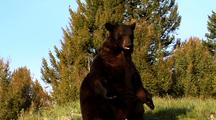 Large Male Black Bear Sitting Up, Resting