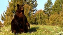 Large Male Black Bear Sitting Up
