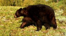 Large Male Black Bear Foraging On Vegetation