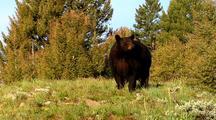 Large Male Black Bear Foraging On Vegetation
