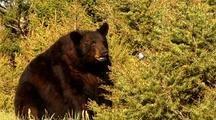 Large Male Black Bear Infested With Mange Foraging On Vegetation