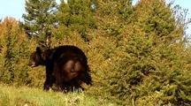 Large Male Black Bear Foraging