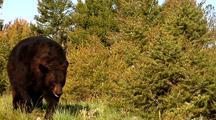 Large Male Black Bear Infested With Mange, Feeding On Vegetation