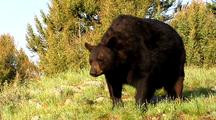 Large Male Black Bear Infested With Mange
