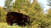 Large Male Black Bear Feeding On Vegetation