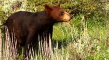 Juvenile Black Bear Foraging In Pine Forest, Stands On Hind Legs