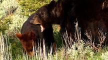 Juvenile Black Bear Foraging In Forest. Adult Tries To Play