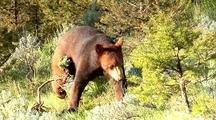 Juvenile Black Bear Foraging In Forest