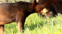 Juvenile And Adult Black Bear Foraging