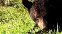 Large Male Black Bear Infested With Mange Foraging