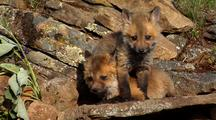 Young Red Fox Kits Playing In Front Of Den Entrance