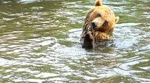 Grizzly Bear Swimming And Playing With Stick In River