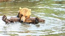 Grizzly Bear Swimming And Playing With Wood In River