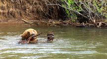 Grizzly Bear Swimming And Playing With Sticks In River