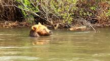 Grizzly Bear Swimming And Playing In River