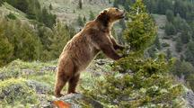 Grizzly Bear Foraging In Rocky Mountains, Pushes On Tree