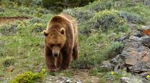 Grizzly Bear Foraging In Rocky Mountains