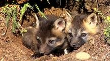 Cross Fox Or Brandt Fox Kits At Entrance Of Den.
