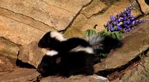 Young Striped Skunk Kits