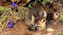 Cross Fox Or Brant Fox Kits At Entrance Of Den.