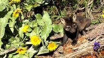 Cross Fox Or Brandt Fox Kits At Entrance Of Den. Arrowleaf Balsamroot Flowers In Bloom