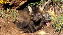 Cross Fox Or Brandt Fox Kits At Entrance Of Den