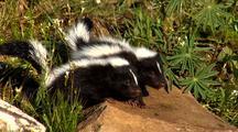 Young Striped Skunk Kits Exploring