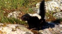 Young Striped Skunk Kits In Defensive Posture To Spray