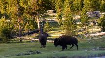 Bison Grazing, Yellowstone National Park