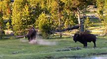 Bison Grazing, Dust Bath, Yellowstone National Park