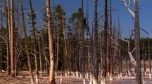 Dead Lodge Pole Pine Forest In Geyser Basin. Yellowstone National Park