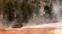 Bison Resting In Steamy Geyser Basin. Yellowstone National Park