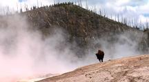 Bison In Steamy Geyser Basin. Yellowstone National Park