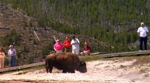 Tourists On Boardwalk Watching Bison In Geyser Basin. Yellowstone National Park
