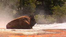 Bison Resting In Steamy Geyser Basin. Yellowstone National Park