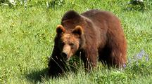 Juvenile Grizzly Bear Foraging On Grasses