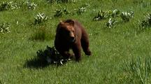 Juvenile Grizzly Bear Running Down Hillside