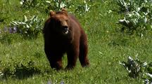Juvenile Grizzly Bear Running Through Forest, Grass Field
